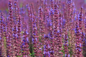 hyaluronic acid serum ingredients - Lavender open in the spring
