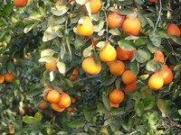oranges - vitamin C