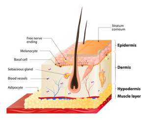 hyaluronic acid penetrates the epidermis and dermal layers of the skin