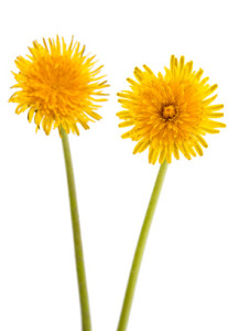 dandelion - plant stem cells in skincare